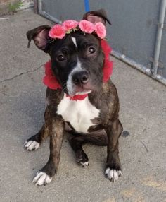 Manhattan center PRECIOUS – A1082306  FEMALE, BR BRINDLE / WHITE, PIT BULL MIX…