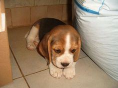 "Acquire terrific pointers on ""beagle puppies"". They are offered for you on our s… Adquiere excelentes consejos sobre ""cachorros beagle"". Cute Beagles, Cute Puppies, Dogs And Puppies, Art Beagle, Beagle Puppy, Baby Animals, Funny Animals, Cute Animals, Dog Behavior"