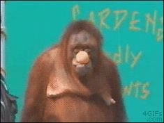 """Watch this cagey orangutan engaging in some slight of hand with his ball.  In his mouth, under his arm, he's quick, that's for sure, but what kills me is the expression on his face that he gives the guy.  You can just tell he loves getting one over on this human pal. Just like a Dad. Maybe that's part of why """"orangutan"""" translates to """"old man of the forest""""."""