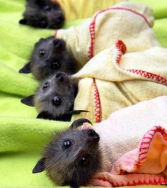 Rescued baby bats. The mammals are bottle fed, wrapped up, and hung on clotheslines until they are well enough to be released. - Imgur