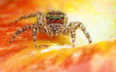 Spider - eyes, jumper, orange, spider, insect