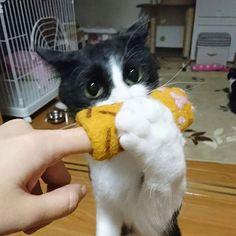 新しいオモチャ✨🎁✨ ちょび編😺  #lovecats #はちわれ #ハチワレ #ねこ #ネコ #ねこすたぐらむ  #ニャンダフルライフ #ちょびひめ #ねこ部 #ハチワレ部 #猫 #ニャンスタグラム #ウチの猫 #今日も可愛い #cat #cats #adorable #catstagram #instacats #maskandmantle #lovely #cute #nekostagramg #pet #ilovemycat #愛猫 #雑種猫