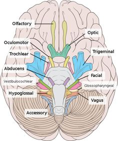 Cranial Nerves IV and VI, the Trochlear Nerve and Abducens Nerve