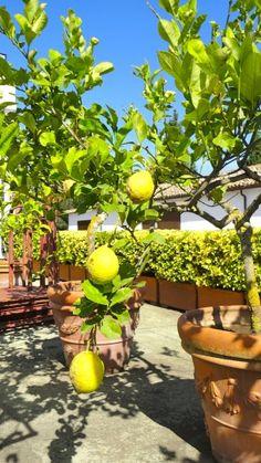 Super yellow lemons