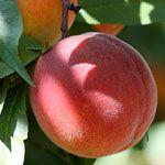 Dwerg Perzik - Fruitbomen.net Mobiel