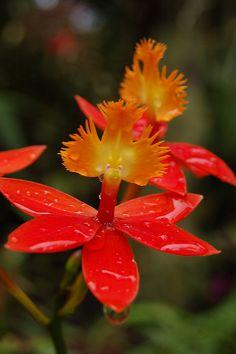 Epidendrum - Flickr - Photo Sharing!     - Flickr - Photo Sharing!