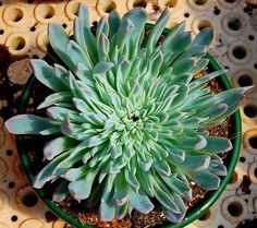 """Echeveria """"Violet Queen"""" monster by Leo_González on Flickr...."""
