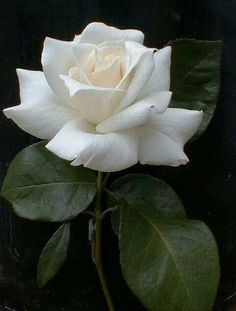 Single white rose .....