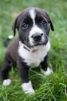 Meet Rihanna D150952, a Petfinder adoptable Pit Bull Terrier Dog | Minnetonka, MN | Name: Rihanna  Date of Birth: 5/31/15 - Available for adoption at 8 weeks old  Gender: Female ...