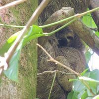 47_danny parker_a young 3-toed sloth clinging to her mother.jpg