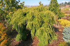 Sargent's Weeping Hemlock - Tsuga canadensis 'Sargentii' will tolerate partial shade and grow up to 15ft. high and 25 ft. wide (good for under powerlines)