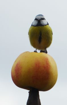 Apfelmeise in Friedewalde