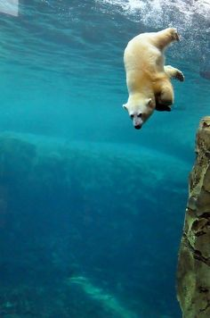 Looks like he is falling! I don't see any ice burgs for him to climb onto! :/ Keep huffing big guy