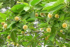 Kadam Flower (কদম ফুল), Nip (নীপ), Kodombo (কদম্ব) - Neolamarckia Cadamba