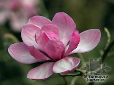 Buy Magnolia plants from Burncoose Nurseries - Page 5