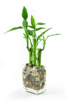 Lucky bamboo in water is an excellent enhancer and protector of wealth and health.