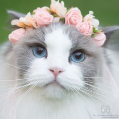 From @aurorapurr: A flower crown for a flower girl #twitterweek #catsofinstagram  #TwitterWeek: Follow us on Twitter for a chance to be featured this week! [source: http://ift.tt/1WDcE77 ]