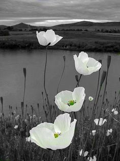 White poppy flower, attracting each passerby, catching every eye. My Flower, White Flowers, Beautiful Flowers, Simply Beautiful, Cosmos Flowers, Dogwood Flowers, Unusual Flowers, White Peonies, Bright Flowers