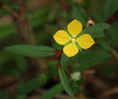 Ludwigia alternifolia, la cápsula geométrica de semillas.   Matemolivares