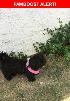 Is this your lost pet? Found in Bakersfield, CA 93313. Please spread the word so we can find the owner!  Black shaggy small dog, no collar, no chip.   Nearest Address: Wible Road, Bakersfield, CA