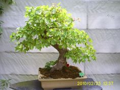 Bonsai Bonsai, South Africa, Herbs, Plants, Herb, Plant, Planets, String Garden, Medicinal Plants