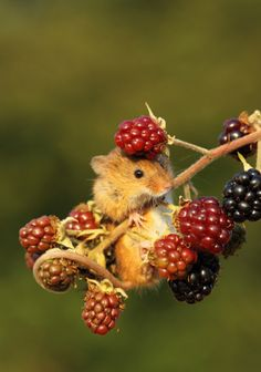 Harvest Mouse on Berries - Animals wild, Animals cutest, Animals funny, Animals drawings Cute Creatures, Beautiful Creatures, Animals Beautiful, Nature Animals, Animals And Pets, Funny Animals, Autumn Animals, Harvest Mouse, Cute Mouse
