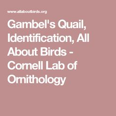 Gambel's Quail, Identification, All About Birds - Cornell Lab of Ornithology