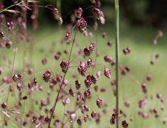 Marta Malheiro, Author at Revista Jardins - Página 2 de 5 Black Mondo Grass, Red Grass, Perennial Grasses, Hardy Perennials, Red Flowers, Colorful Flowers, Briza Media, Grass Species, New Zealand Flax