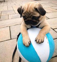 Pug puppe #pug pupper