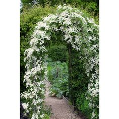 "Clematis montana 'Wilsonii'. ""Clematis 'Wilsonii' has satin white star-shaped flowers, with incredible scent. I have these cascading down from arches in the cutting garden and on a May evening, they will fill the entire garden with perfume."""