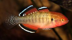 behaviors keeping the rainbow fish aquarium lake ifaten rainbowfish ...