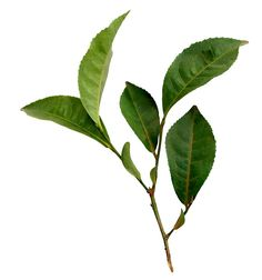 what does green tea extract do for weight loss – Detox tea for weight loss Leave In, Deco Floral, Arte Floral, Rose Leaves, Plant Leaves, Leaf Photography, Weight Loss Tea, Green Tea Extract, Plant Illustration