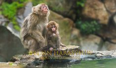 A LOOK - Snow monkey mother with her 1 month old baby in Japan, spring of 2017