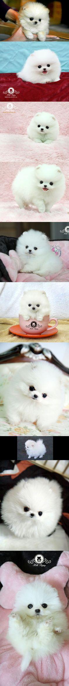 Teacup micro Pomeranian puppies