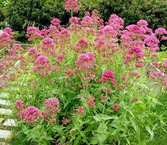 Centranthus ruber P = 7 Source Beautiful Flowers, Mediterranean Plants, Beautiful Gardens, Flower Garden, Perennials, Plants, Outdoor Plants, Landscaping Plants, Watering
