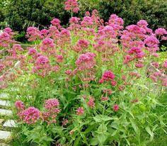 Centranthus ruber plantes-d-exterieur-sans-arrosage-15-photos-pour-faire-votre-choix_14095.html?p=7