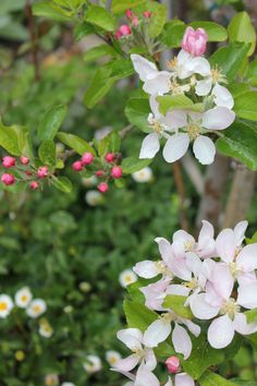 Apple blossoms alight on all espaliered trees