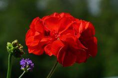 Red Geranium flower in blossom. Spectacular picture.