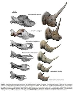 A Tandem-Horned Rhino From the Late Miocene Of Northwestern China Reveals Origin of the Unicorn Elasmothere----Institute of Vertebrate Paleontology and Paleoanthropology, Chinese Academy of Sciences Prehistoric World, Prehistoric Creatures, Dinosaur Fossils, Dinosaur Art, Reptiles And Amphibians, Mammals, Vida Animal, Extinct Animals, Ancient China