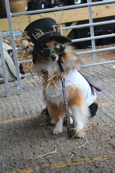 "Daisy-Mae ""Slash"" scarecrow Daisy Mae, Dog Show, Riding Helmets, Cowboy Hats, Dogs, Western Hats, Doggies, Pet Dogs, Dog"