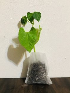 Growing Plants Indoors, Herbs Indoors, Growing Herbs, Growing Vegetables, Buy Flowers Online, Buy Plants Online, Black Bean Plant, Chickpea Plant, Okra Plant