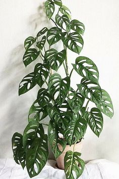 Learn how to care for this rare 'Swiss Cheese Vine', if you can get your hands on one that is. (Toxic For Cats) plant tattoo houseplant Monstera Adansonii 'Swiss Cheese Vine'