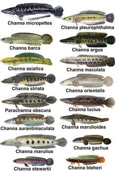 Responsible Care for Freshwater Fish Aquarium Tropical Freshwater Fish, Freshwater Aquarium Fish, Tropical Fish, Oscar Fish, Snakehead Fish, Fish Tank Terrarium, Fish Chart, Cichlid Aquarium, Monster Fishing