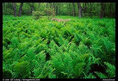 Ferns and flowers in spring. Shenandoah National Park, Virginia, USA.