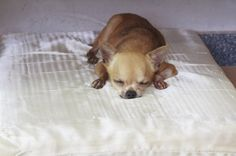 How to get a good night's sleep (and why it's so important! Chihuahua Dogs, Doggies, Losing Friends, Dog Quotes, Dog Owners, Good Night, Sleep, Pets, Health