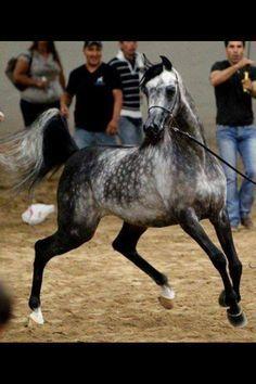dapple grey arabian stallion - Bing Images