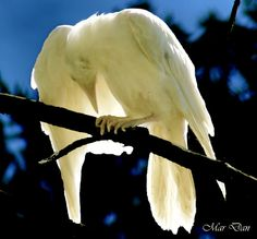Albino Raven - from: Crows Ravens: White Raven- white spray paint? Rare Animals, Animals And Pets, Wild Animals, Beautiful Birds, Animals Beautiful, White Raven, White Wolf, Vida Animal, Merle