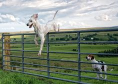 treeing walker coonhounds. I hope mine never figures this out!