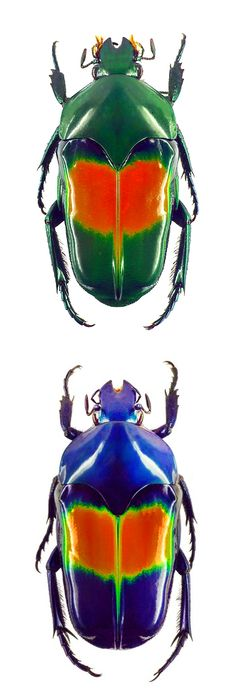Ischiopsopha jamesi e Ischiopsopha jamesi coerulea Beetle Insect, Beetle Bug, Insect Art, Cool Insects, Bugs And Insects, Mantis Religiosa, Cool Bugs, Beautiful Bugs, Hans Christian