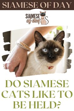 Do Siamese cats enjoy being held? Siamese cats enjoy being held. They are well-known for their desire for attention. They enjoy cuddling, being lifted, sitting on your lap, sleeping in your bed, and even playing fetch. Siamese cats are amiable and communicative, and they are devoted to their owners. #siamese #siameseofday #cats #pets #kittens #Blog #cattips #cathealth #kitten #justcats Siamese Cats, Kittens, Kitten Care, Cat Health, Cuddling, Hold On, Pets, Blog, Cute Kittens